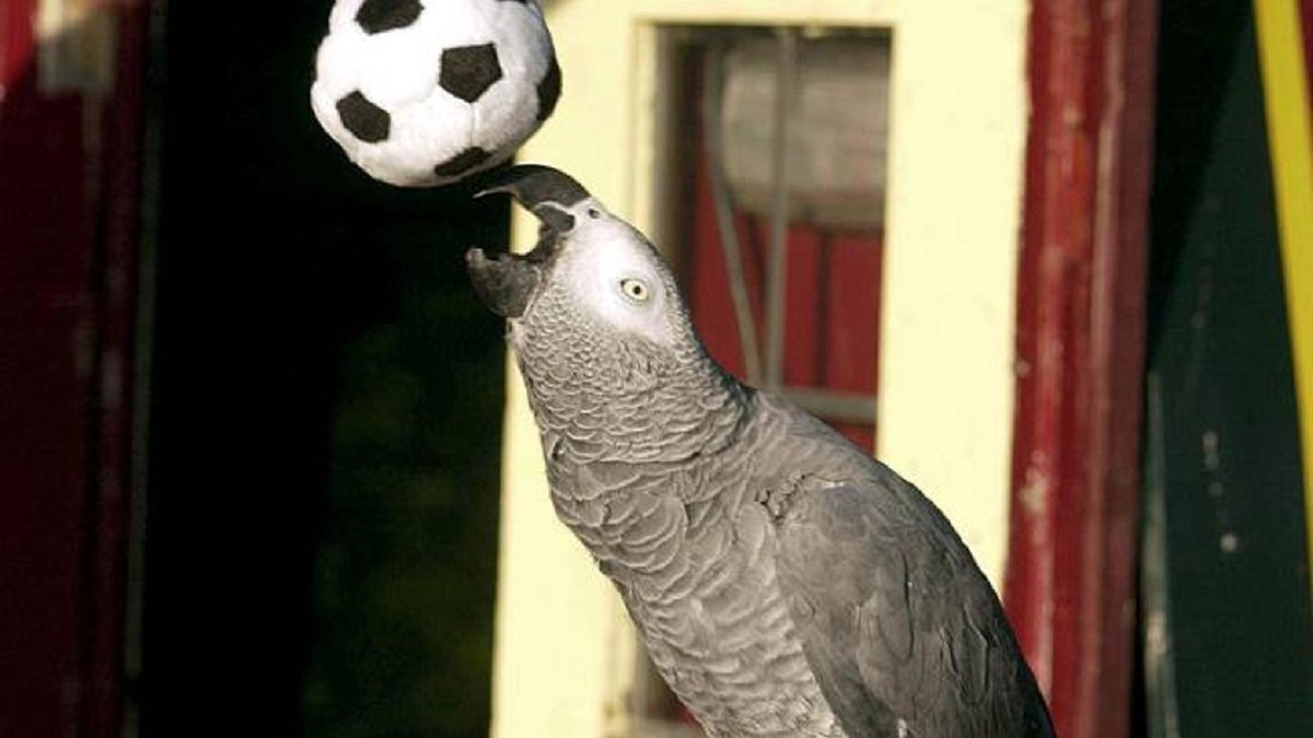 Папуга ледь не зірвав матч жіночої збірної Бразилії – футболістку рятували м'ячем