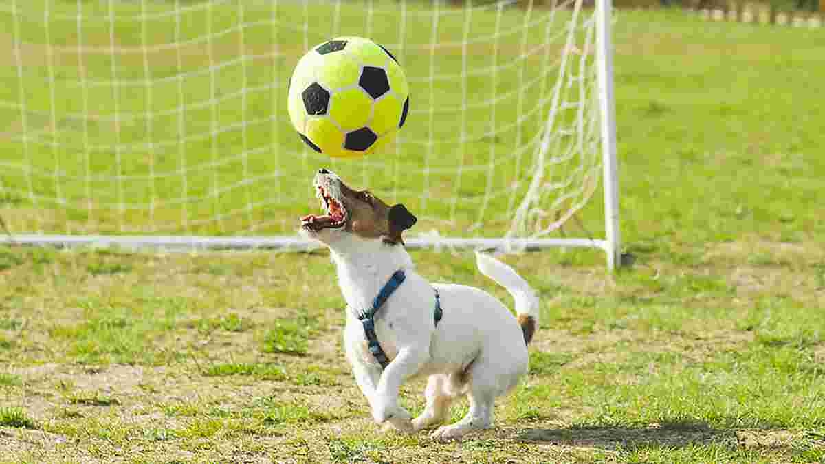 """Собака """"відзначився"""" голом зі штрафного у матчі – курйозне відео з Чилі"""