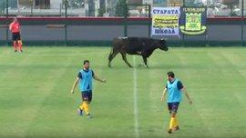 Бык и собака едва не сорвали товарищеский матч в Болгарии
