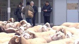 """Президент Атлетико Серезо стал жертвой розыгрыша и вынужден был останавливать стадо овец, которое прорывалось на """"Ванда Метрополитано"""""""