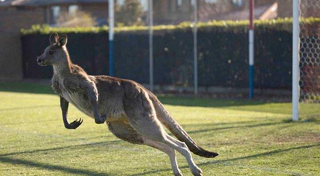 В Австралии кенгуру поиграл в футбол в матче местного чемпионата
