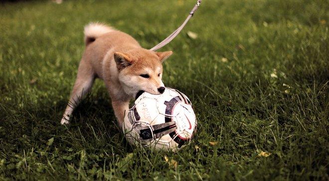 Футболист получил травму, споткнувшись об пса – курьез дня